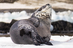 Leopard Seal Lounges on Ice Just Off Shore at Brown Bluff, Antarctica