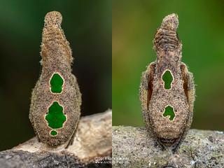 Tree stump orb weaver (Poltys furcifer) - DSC_5095x