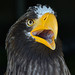 Sea Eagle - Great Yorkshire Show