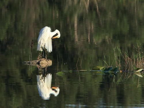 Great Egret preening 03-20180717