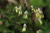Photo:Thalictrum minus var. stipellatum  オオカラマツ By ashitaka-f studio k2