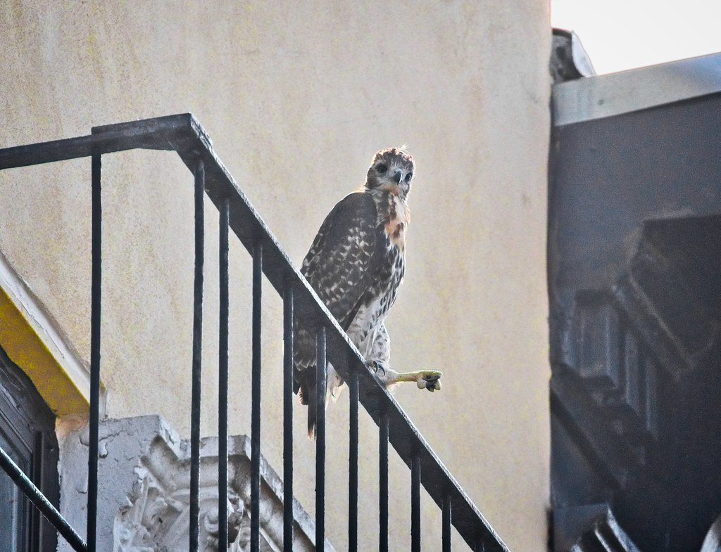 Tompkins fledgling A2 finally makes it up to railing