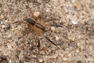 Wolf spider (Lycosidae) - DSC_2219