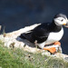 Puffin, at RSPB Bempton Cliffs
