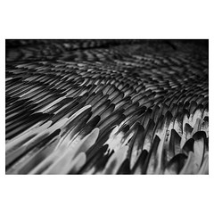 SASSE/SLUICE, moulted pigeon feathers, by Kate MccGwire . #leicaQ #leica #leicacamera #leicaqtyp116 #leicacraft #leica_photos #leica_uk #leica_world #leicaphotography #twitter #geoffroyschied #blackandwhiteisworththefight #blackandwhite #monochrome #bw #n