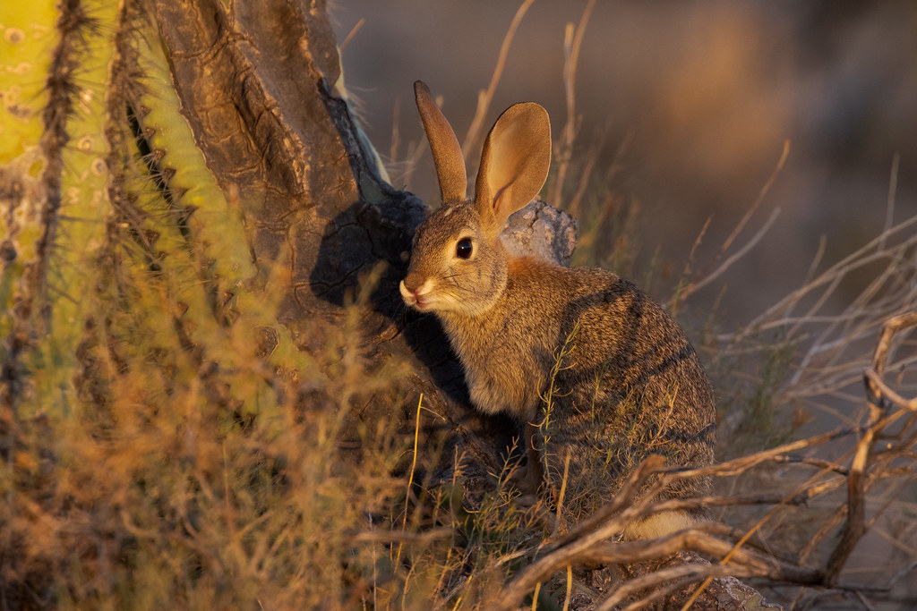 A desert cottontail sits on the base of a large saguaro cactus