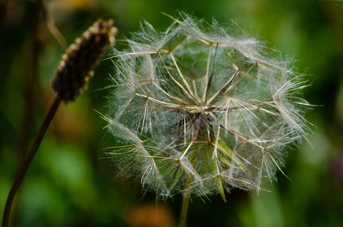 Meadow salsify (jack go to bed at noon) seed head