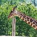 Giraffe at Colchester Zoo
