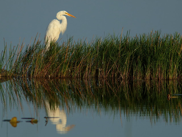 Great Egret 02-20180718