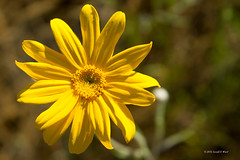 Yellow daisy 7865