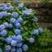 hydrangea and stone wall by kasa51