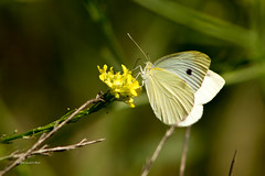 Cabbage white 8971