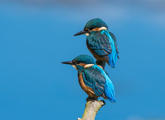 Kingfisher (juveniles)