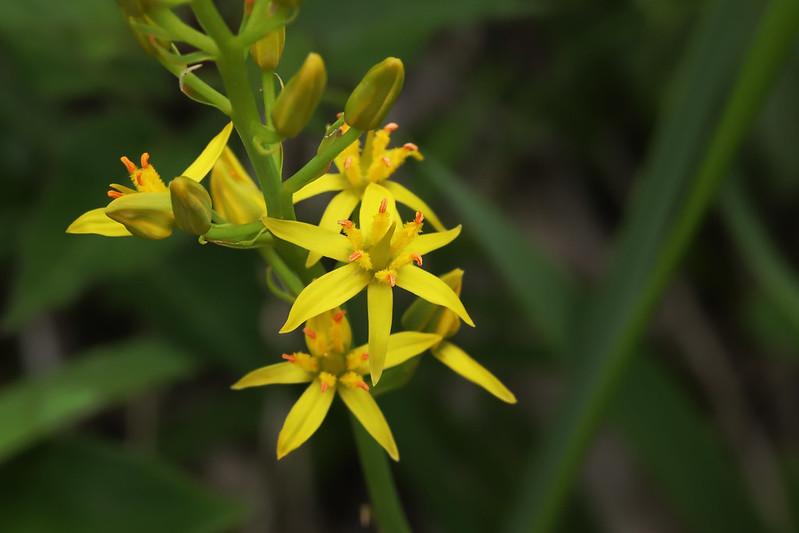 Narthecium asiaticum  キンコウカ