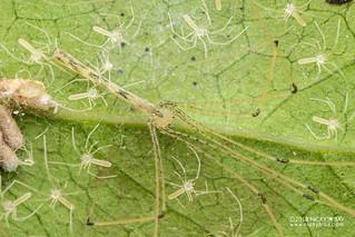 Daddy-long-legs spider (Leptopholcus cf. gracilis) - DSC_2742