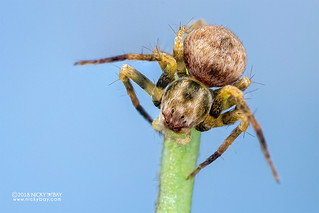 Lynx spider (Oxyopes sp.) - DSC_4769