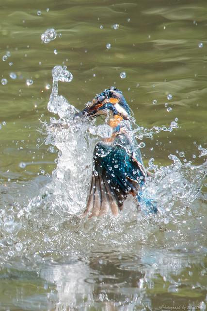 20180629-kingfisher-DSC_5128