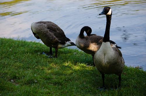 Canada goose family, Bags Pool