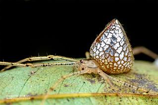 Mirror comb-footed spider (Thwaitesia sp.) - DSC_5649