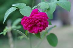 LD Braithwaite Rose