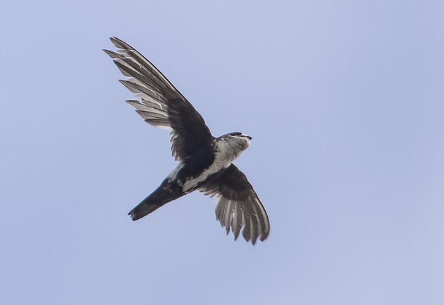 White-throated Swift (141)