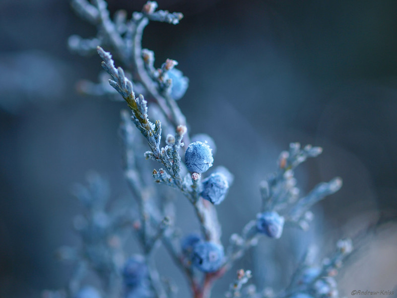 Juniper in winter