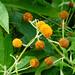 Orange ball tree flowering, Compton Rough
