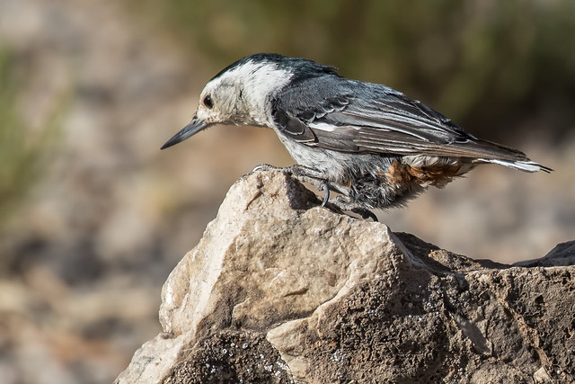 White-breasted-Nuthatch-72-7D2-070518