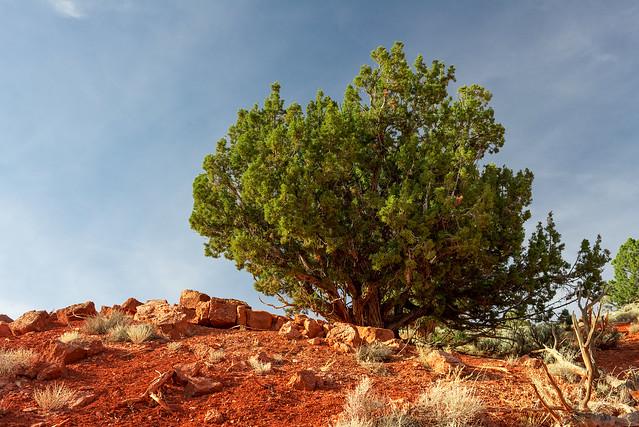 Utah Juniper on Stone Blocks