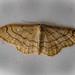 Riband Wave - Idaea aversata f. remutata