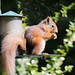 red squirrel (4 of 1)