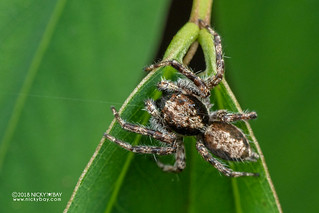 Jumping spider (Salticidae) - DSC_5022