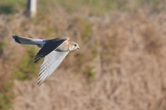 Nankeen Kestrel ( a quick fly by to show it has dinner )