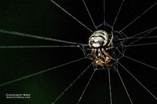 Orb weaver spider (Araneidae) - DSC_4426