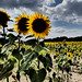 Sonnenblumen-1