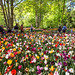 Mixed Tulips _3372