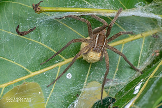 Nursery web spider (cf. Nilus sp.) - DSC_2847