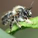 Male leafcutter bee