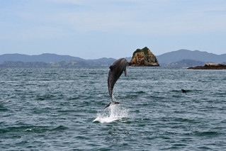 Dolphins in the Bay of Islands - New Zealand 2008