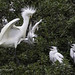 Snowy Egret Parent Feeds One Chick While The Others Chicks Watch
