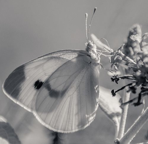 Cabbage White Butterfly?