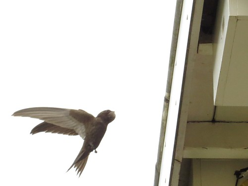 Aanvliegende oudervogel nestkast 2