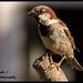House Sparrow .