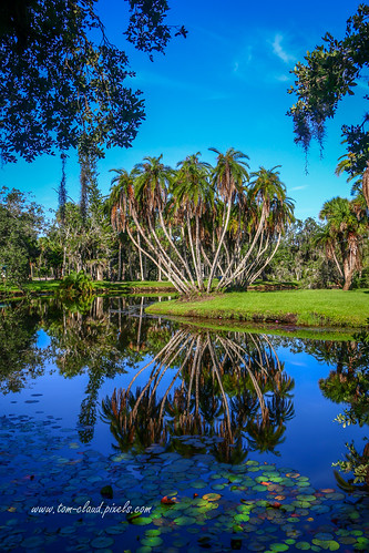 tree palm palmtree reflect image reflection landscape nature mothernature pond water lake lilypads outdoors whitecitypark fortpierce florida usa