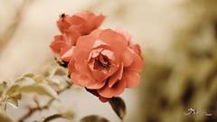 Une rose pleine de douceur pour tous les amis de Flicr
