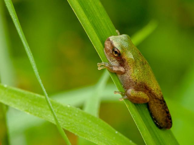 Metamorph Gray Tree Frog, Canon EOS REBEL T1I, Canon EF 100mm f/2.8 Macro USM
