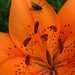 Fly on a lily