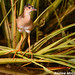 Young Purple Gallinule by Let there be light (Andy)