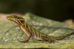 Speckled Anole - Anolis ventrimaculatus