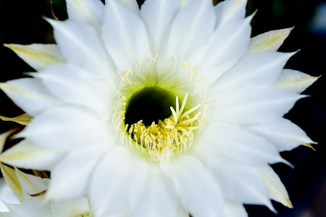 Cactus Flower (Echinopsis) : サボテン(エキノプシス属 短毛丸), Nikon D750, AF-S Micro Nikkor 60mm f/2.8G ED